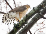 Cooper Hawk Doing What Comes Natural