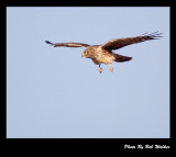Hawk Airborn And Hovering