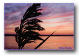 A Reed At Sunset