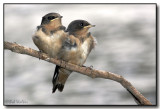 Barn Swallows (Hirundo rustica)  Fledgelings