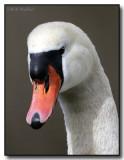 A Mute Swan's Portrait