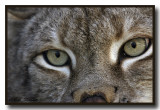 Canadian Lynx Really Close Up