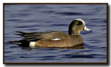 The American Wigeon Gallery