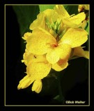 Yellow Orchid Also
