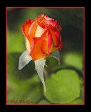 A Beautiful Rose Bud