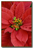 The Holiday Flower, The Poinsettia