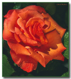 Terry's Rose