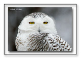 A Portrait Of The Snowy Owl