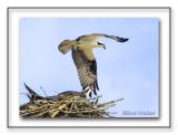 The Osprey Gallery a.k.a. Fish Hawk