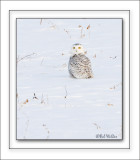 A Snowy Owl Out In The Field