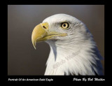 Portrait Number Two Of The American Bald Eagle
