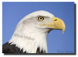An American Bald Eagle (Haliaeetus leucocephalus)