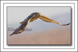 Immature Red-tailed Hawk Gliding Over Agriculural Fields