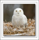 The Male Snowy Owl Finally Approached Us And Posed For This Image