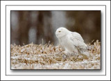 Snowy Owl Sneaking Up On A Potential Meal