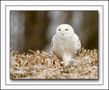 Snowy Owl Displaying It's Antics Of Following What We Thought Would Be Potential Prey And It's Meal