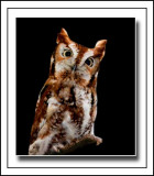 Eastern Screech Owl (Otus asio)