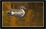 The Northern Pintail Duck Gallery