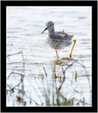 Greater Yellowlegs In Search Of It's Meal