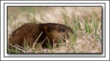 A Muskrat Feeding In The Grass