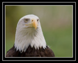 Another Look At Our American Bald Eagle