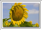 A Beautiful Common Sunflower