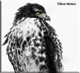 Another Presentation Of The Juvenile-Red-tail In Black & White