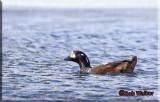 A Harlequin Duck In Frigid Water