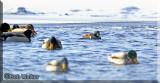The Harlequin Duck Mingles Among The Mallards