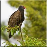 A Turkey  Vulture Perched A Top Of A Conifer