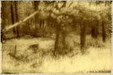 Montana Pine