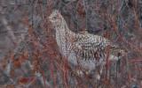 Sharp Tailed Frouse 3.jpg