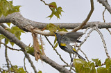 Yellow-rumped 'Audubon's' Warbler
