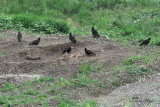 Turkey Vultures on Coyote