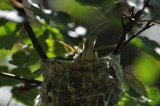 Warbling Vireo in Nest