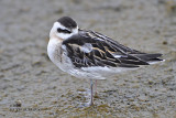 Red-necked Phalarope_juvenile