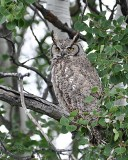Great Horned Owl Eastern Subspecies