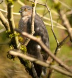 adult_coopers_hawk