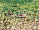Dickcissel(with House Sparrow)