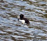tufted_duck_photos