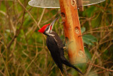 More Pileated Woodpeckers