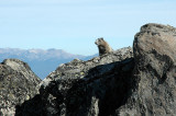 Marmot Poking Head Out