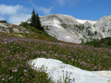 Medicine Bow and Flowers