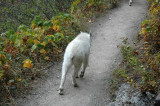 Baby Goat Ambling By