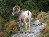Big Horn Ram From Behind