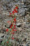 Red Flower Stalk