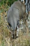 Deer with Munchies