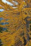Golden Larch Needles