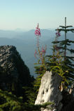 Fireweed and Little Pilchuck