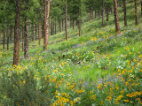 Horse Lake Mtn Flowers and Forest